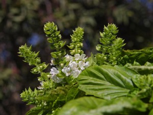 Basil in Flower