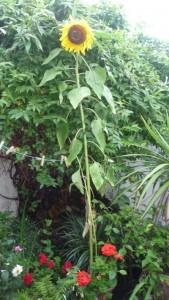 Summer sunflower in my patio garden.